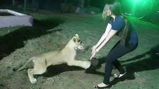 getlinkyoutube.com-ATTACKED BY A LION IN DUBAI !!