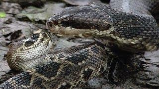 getlinkyoutube.com-Cottonmouth vs Rattlesnake 06 - Cottonmouth Kills & Eats Rattlesnake - Time Lapse