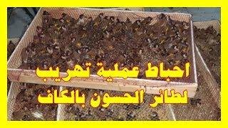 احباط عملية تهريب لطائر الحسون بالكاف 13-10-12