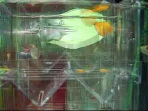黃母球魚生小寶寶