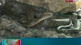 BP: King cobra, nahuli sa Argao, Cebu