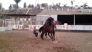 Quarter horse x Andaluz