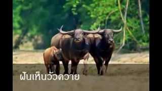 getlinkyoutube.com-ฝันเห็นวัวควาย หมายถึงอะไร (เลขเด็ด)