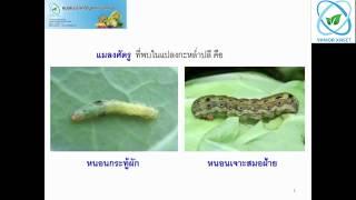 การดื้อยาและปัญหาการใช้สารเคมีกำจัดแมลงของเกษตรกร