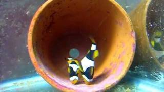 getlinkyoutube.com-Onyx Clownfish says: Let's lay some eggs!