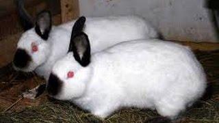 getlinkyoutube.com-أرانب مش عصافير زينة - رعاية الأمهات فى تربية الأرانب