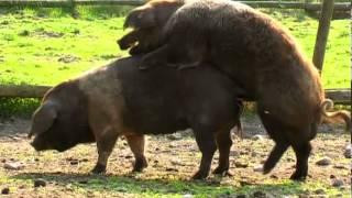 getlinkyoutube.com-Schweinesex und glückliche Ferkel