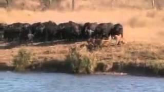 getlinkyoutube.com-pertempuran antara singa,buaya dan kerbau siapa lebih hebat