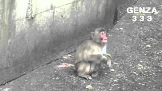 getlinkyoutube.com-Tiny Monkeys terrified to struggle
