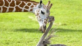 getlinkyoutube.com-Странная дружба животных  National Geographic