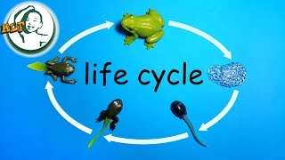 getlinkyoutube.com-Learn frog life cycle for kids with safari ltd life cycle of a frog toy |  カエルのライフサイクル |