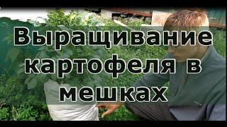 getlinkyoutube.com-Выращивание картофеля в мешках