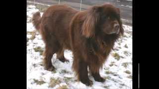 The Newfoundland Dog - 10 Amazing Facts