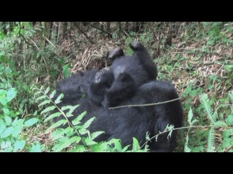 Baby gorillas in Rwanda: Cute baby gorillas captured on camera