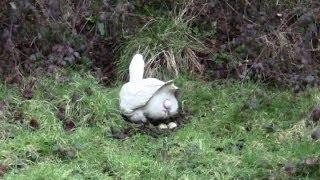 getlinkyoutube.com-Amazing Clip Of A Goose Laying An Egg. Close-Up.