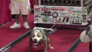 getlinkyoutube.com-Hawaii's Strongest Pit Bull Competition