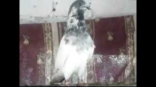getlinkyoutube.com-pakistani pigeon batera pair Gold-00968-95131325