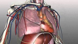 getlinkyoutube.com-Mediastinum - Anatomy Tutorial