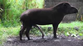 getlinkyoutube.com-BRAZILIAN TAPIR with five legs at Melbourne zoo - Australia