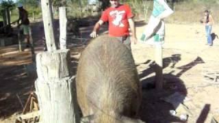 getlinkyoutube.com-Porco Gigante