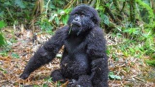 getlinkyoutube.com-Drunk Baby Mountain Gorilla. Virunga National Park, Rwanda