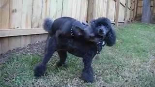getlinkyoutube.com-Chihuahua Humps Poodle