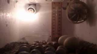 شاهد فقاسة بيض يدوية الصنع وبلا تكاليف#ميس ابو النور