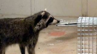 getlinkyoutube.com-Raccoon avoids trap & escapes thru closed doors!