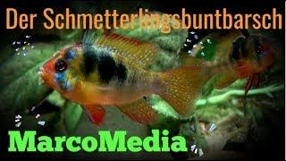 getlinkyoutube.com-Der Schmetterlingsbuntbarsch- Mikrogeophagus ramirezi