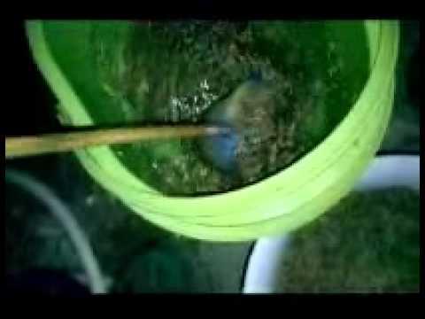 คัดเมล็ดพันธุ์ข้าวด้วยน้ำเกลือ Clip 3