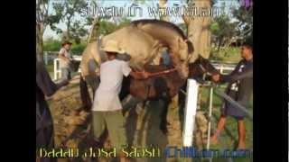 getlinkyoutube.com-Breeding Stallion Horses รับผสมพันธุ์ม้า @ ChillLom Horse Resort