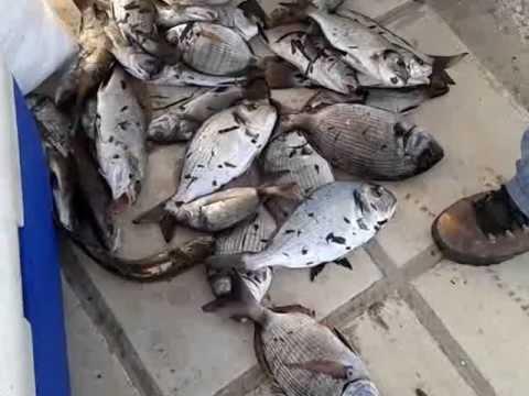 ψαρεμα σαργoι και τσιπουρες surf casting fishing dorada sargo
