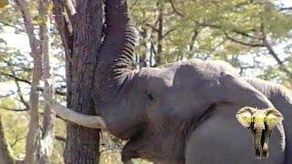 getlinkyoutube.com-Elephant Bull Pushing Down A Massive Tree. Amazing.