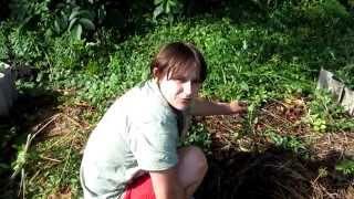 Семья Бровченко. Эксперимент - необычная посадка картошки. №3. Какой же результат?