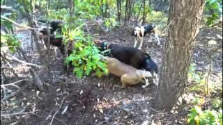 getlinkyoutube.com-2015 new Mexico bear hunt with hounds