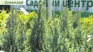 """Кипарисовик лавсона """"Blue Surprise""""- видео-обзор от Greensad"""