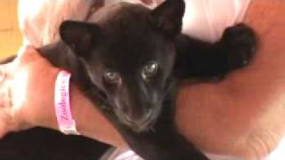 getlinkyoutube.com-Baby Panther Breastfeeding??