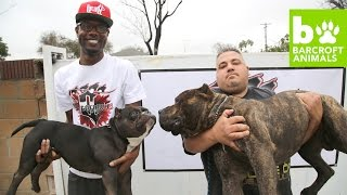 getlinkyoutube.com-The $75,000 Micro Pit Bull: Teaser