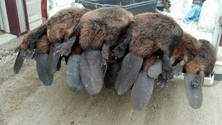 getlinkyoutube.com-Best Spring Beaver Trapping video ever!  330 conibears and snares.