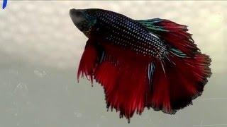 getlinkyoutube.com-เรื่องจริงยิ่งต้องเล่า : ปลากัดแห่งสยาม Siamese fighting fish