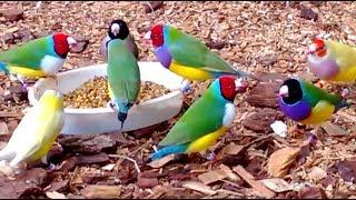 getlinkyoutube.com-Stunning Lady Gouldian Finches feeding
