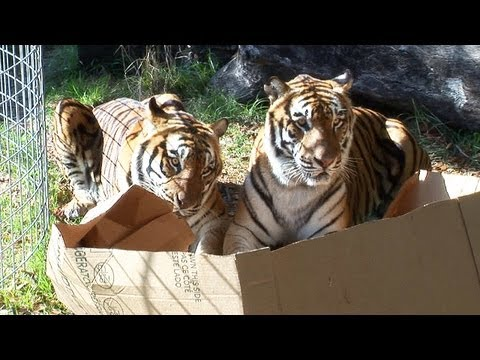Some Big Cats Playing With Boxes