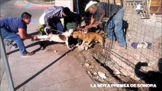 Pit Bull Pair Attacks in Mexico  / Par de Pitbull Sanguinarios Atacan