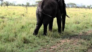 getlinkyoutube.com-Elephant Peeing