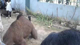 getlinkyoutube.com-camel qurbani