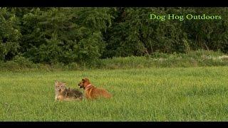 getlinkyoutube.com-Decoying coyotes W/Dog Hog Outdoors decoy dog