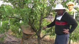 getlinkyoutube.com-Un alt mod de formare a nucleelor si roi în pom