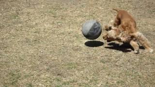 Koda jugando con su balon