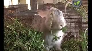 getlinkyoutube.com-Rabbit farming in developing countries (cuniculture)