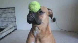 ご主人の言うことよく聞くボクサー犬。その顔どうにかならんかね?